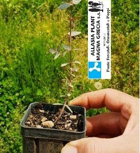 eucalipto bianco