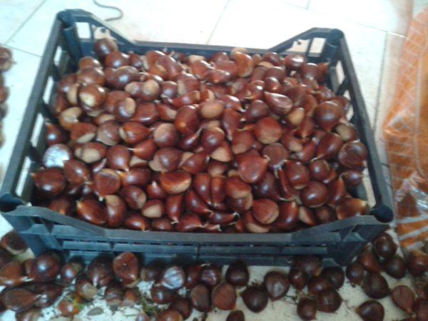 castagno da frutto
