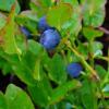 frutto mirtillo nero