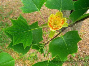 albero dei tulipani