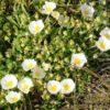 cisto arbusto macchia mediterranea